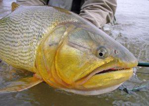 Pesca de Dorado